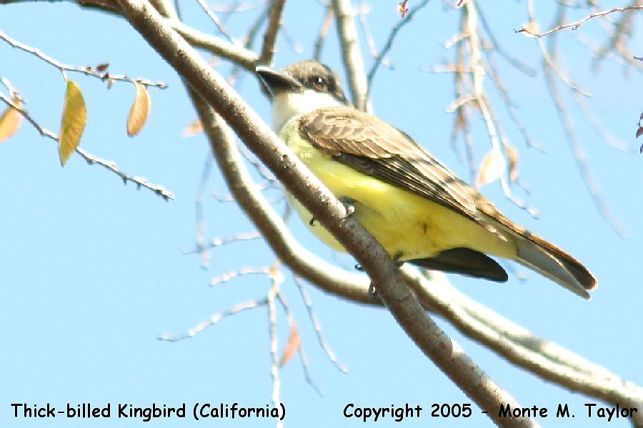 Thick-billed Kingbird -fall-  (California)