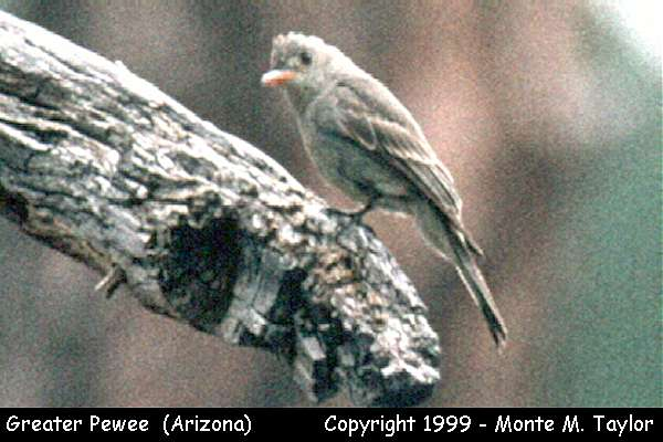 Greater Pewee  (Arizona)