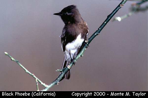 Black Phoebe  (California)