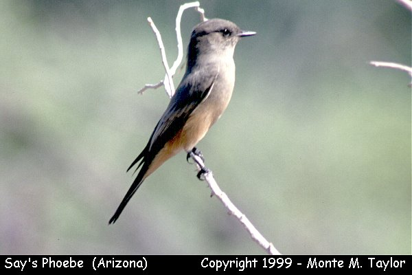 Say's Phoebe  (Arizona)