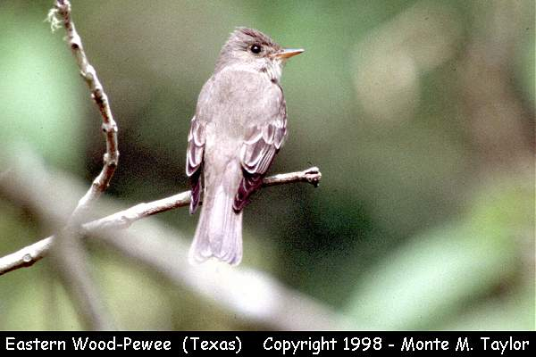 Eastern Wood-Pewee  (Texas)