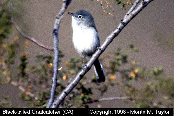 Black-tailed Gnatcatcher - California