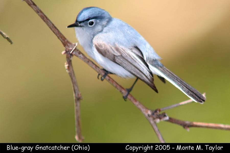 Blue-gray Gnatcatcher (Ohio)