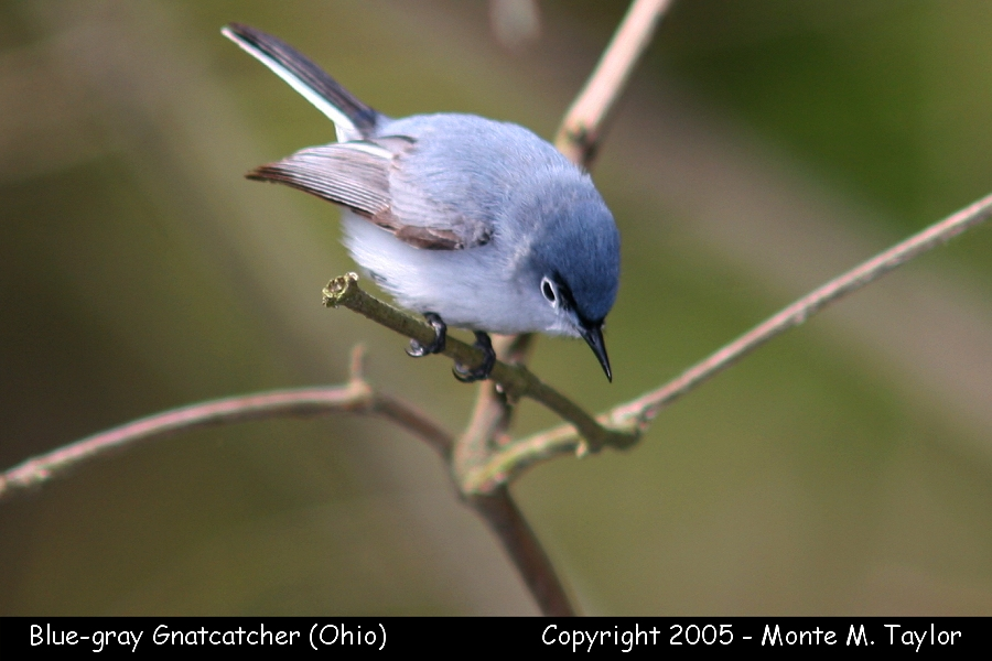 gnatcatcher_blue-gray_2.jpg