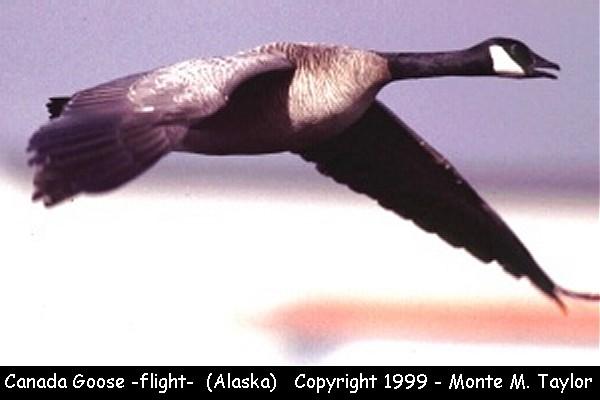 Canada Goose -flight-  (Alaska)