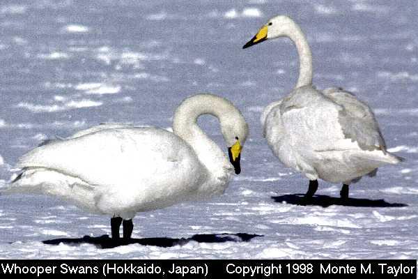 Whooper Swan - Hokkaido, Japan  (33938 bytes)