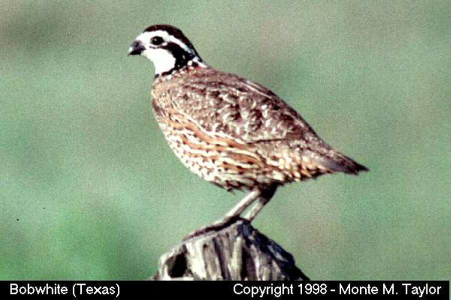 Northern Bobwhite -male- (Texas)