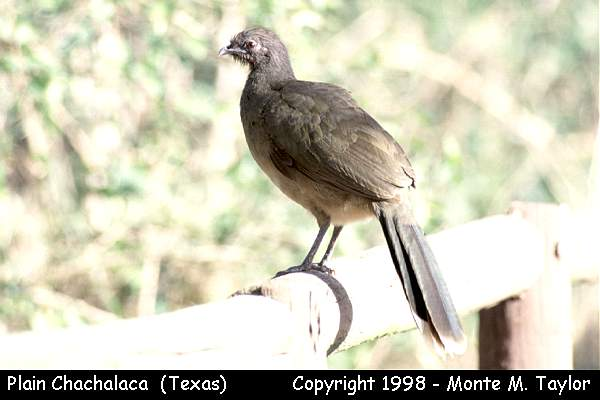 Plain Chachalaca  (Texas)