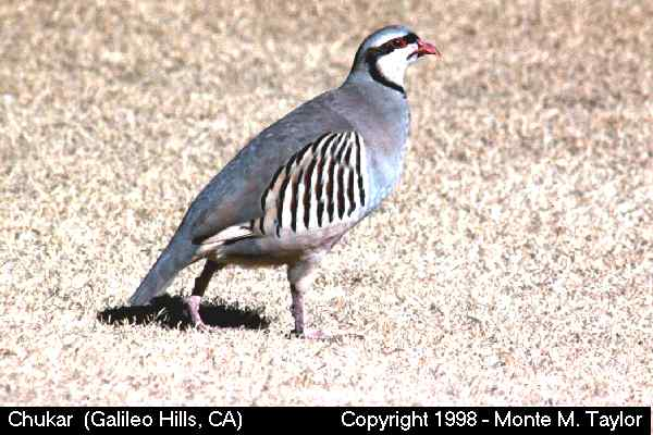 Chukar  (California)