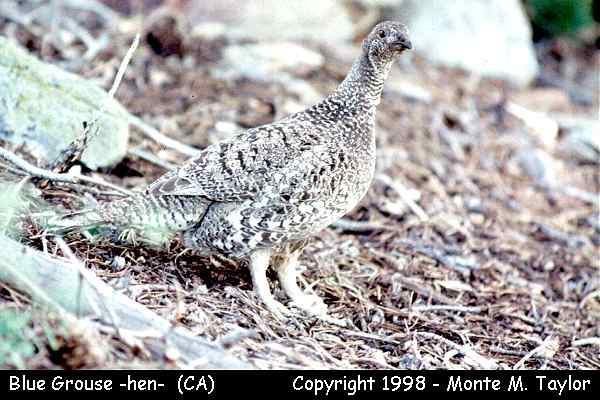 Blue Grouse -female-  (California)