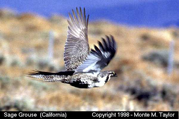 Sage Grouse -male in flight-  (California)