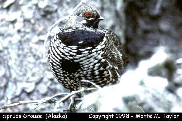 Spruce Grouse  (Alaska)
