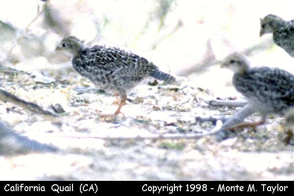 California Quail -juvenile-  (California)