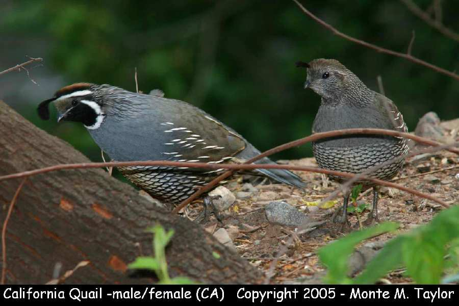 California Quail  (California)