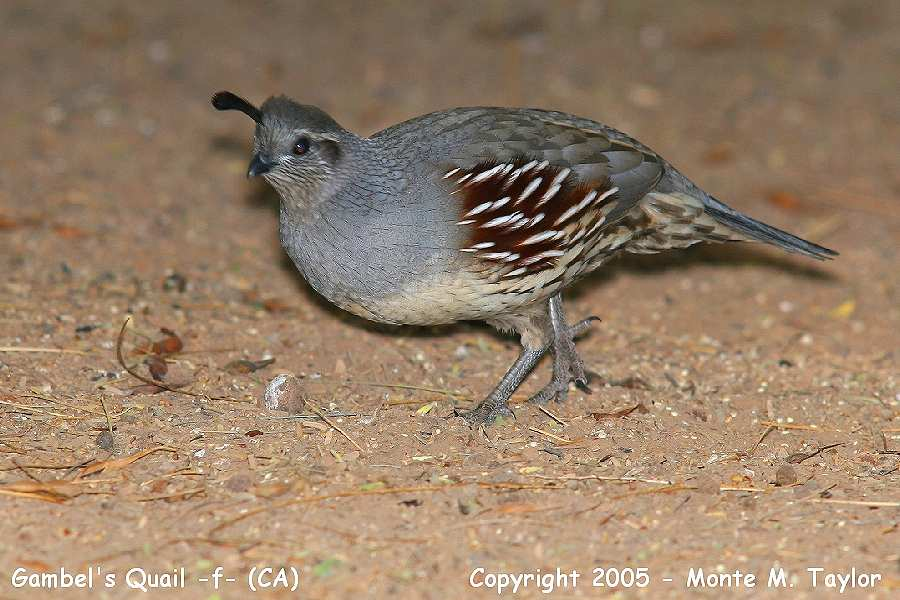 Gambel's Quail -female- (California)
