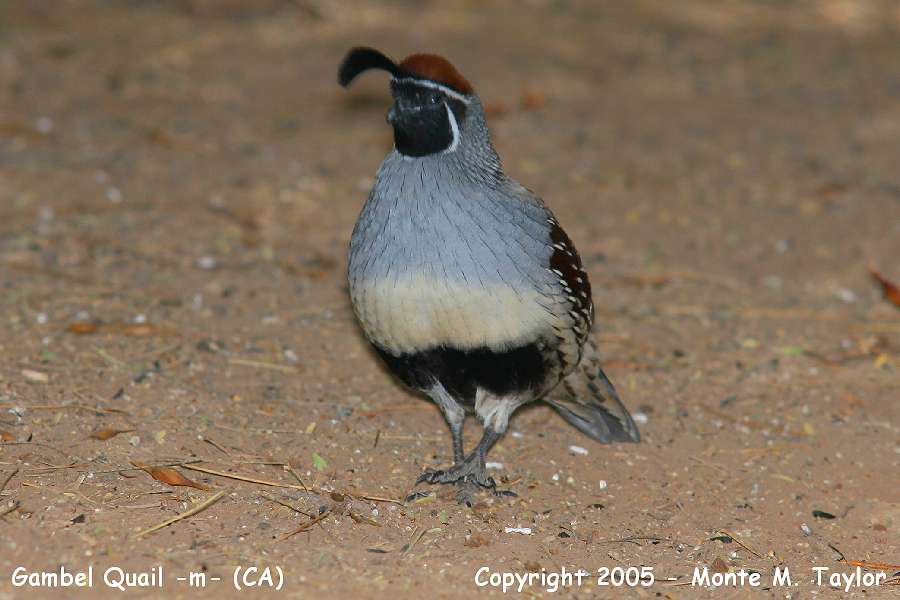 Gambel's Quail -male- (California)