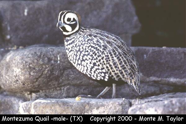 Montezuma Quail  (Davis Mountains, Texas)