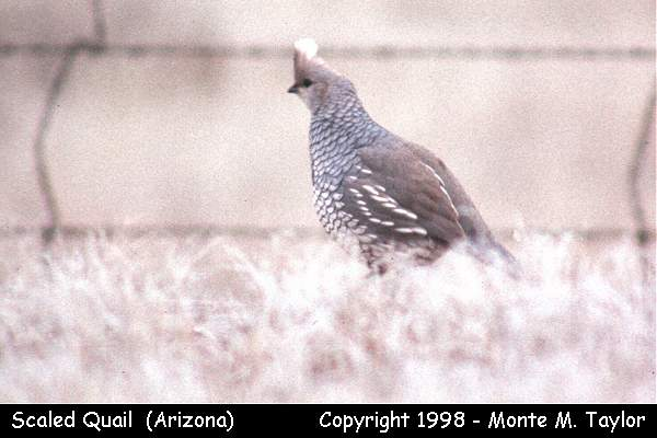 Scaled Quail  -male- (Arizona)