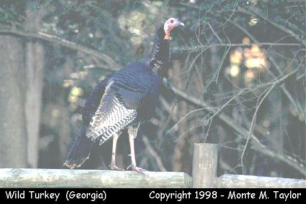 Wild Turkey -male-  (Georgia)