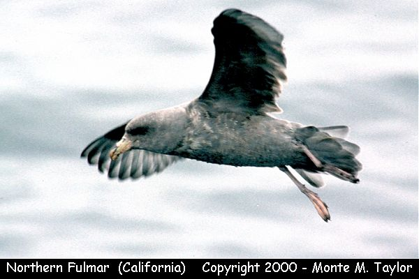 Northern Fulmar  -dark phase- (California)