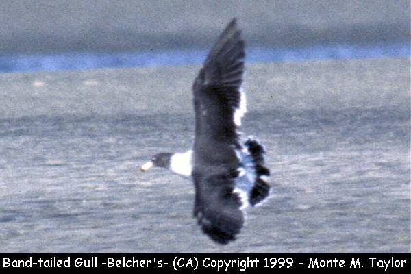 Band-tailed (Belcher's) Gull  (California)