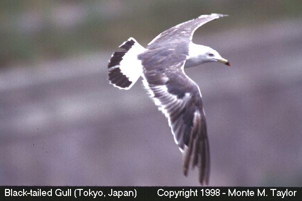 Black-tailed Gull  (Tokyo, Japan)