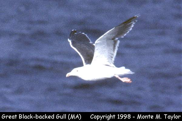 Great Black-backed Gull  (Massachusetts)