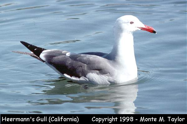 Heermann's Gull -adult-  (California)