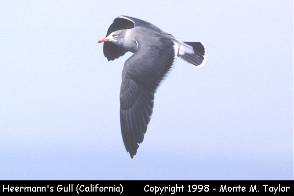 Heermann's Gull -juvenile/flight-  (California)