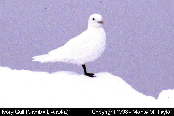 Ivory Gull (Gambell, St. Lawrence Island, Alaska)