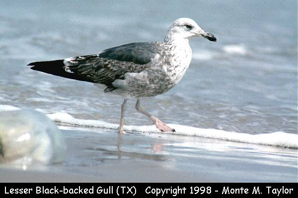 Lesser Black-backed Gull  -1st yr- (Texas)