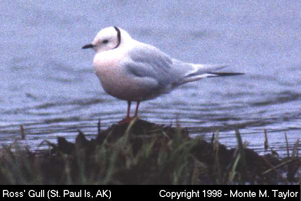 Ross' Gull  (St. Paul Island, Alaska)