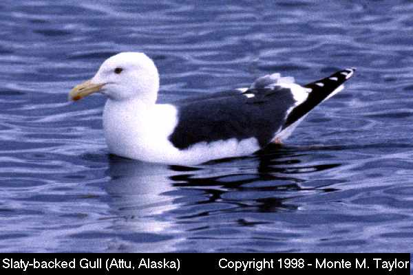 Slaty-backed Gull  (Attu Island, Alaska)