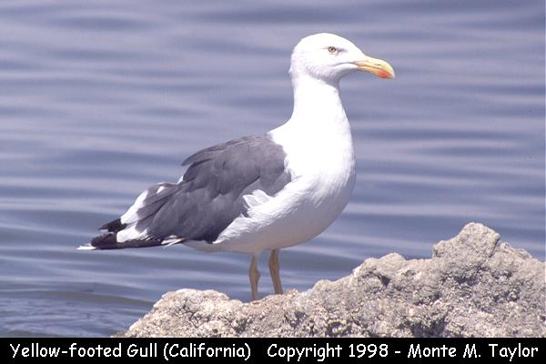 Yellow-footed Gull  (Salton Sea, California)