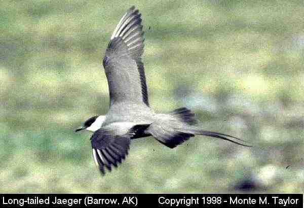 Long-tailed Jaeger  (Barrow, Alaska)