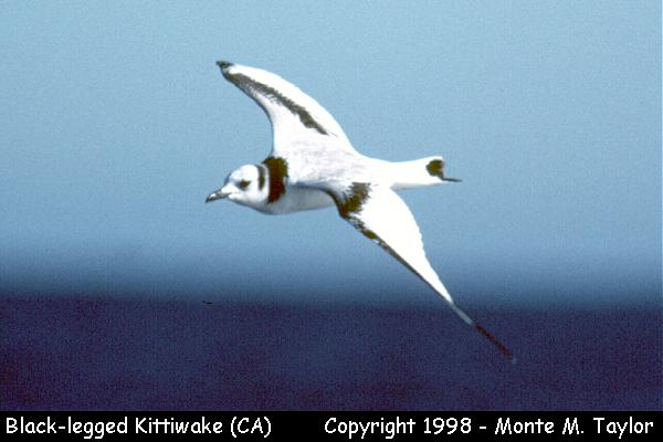 Black-legged Kittiwake -winter-  (California)