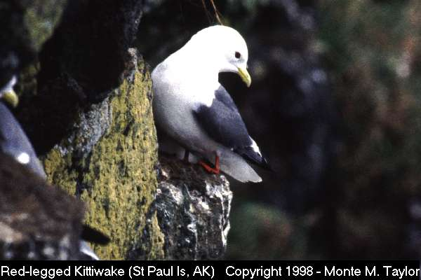 Red-legged Kittiwake  (St. Paul Island, Alaska)