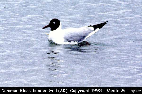 Common Black-headed Gull  (Attu Island, Alaska)
