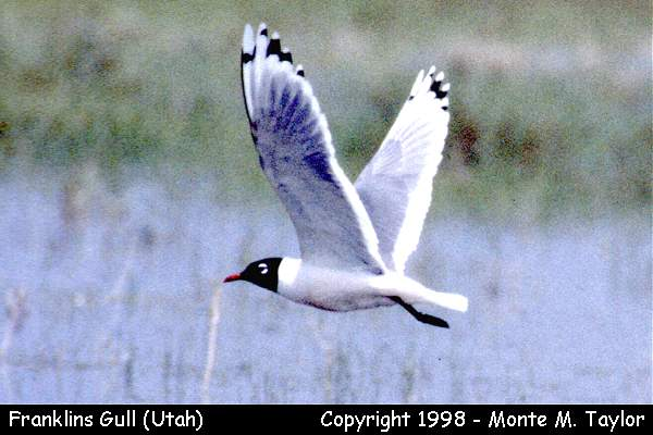 Franklin's Gull  (Utah)