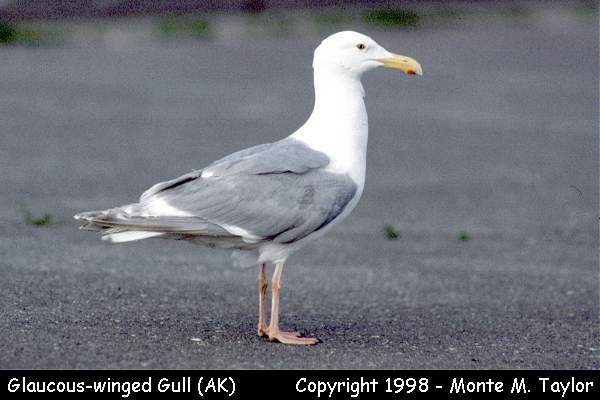 Glaucous-winged Gull  -breeding- (Alaska)