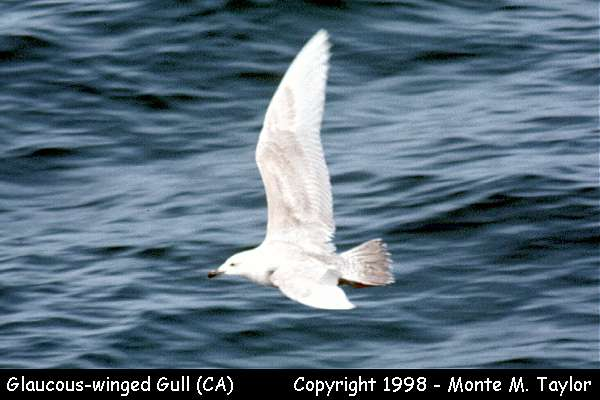 Glaucous-winged Gull  (California)
