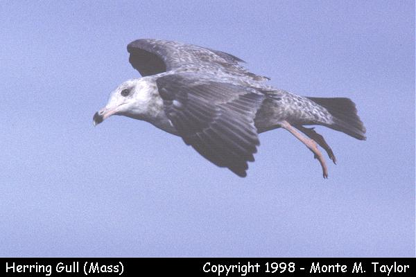 Herring Gull  (Massachusetts)
