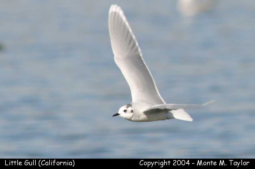 Little Gull - winter adult (California)