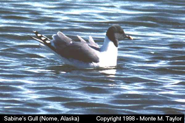 Sabine's Gull  (Alaska)