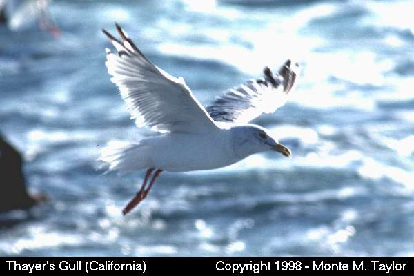 Thayer's Gull  (California)