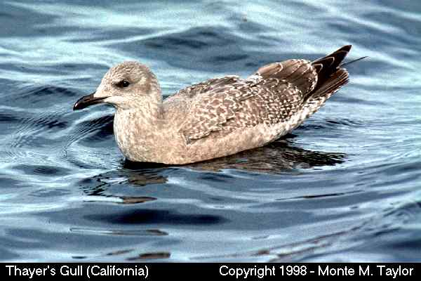 Thayer's Gull -juvenile- (California)