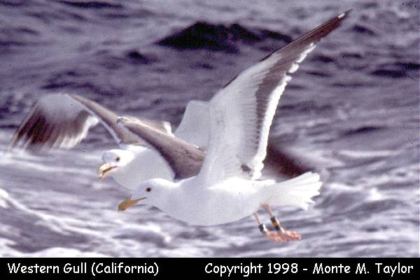 Western Gull  (California)