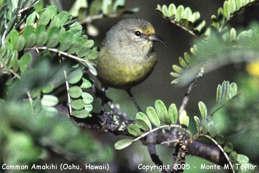 Common Amakihi (Oahu, Hawaii)