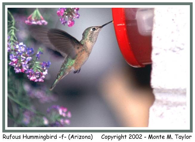 Rufous Hummingbird -female- (Arizona)