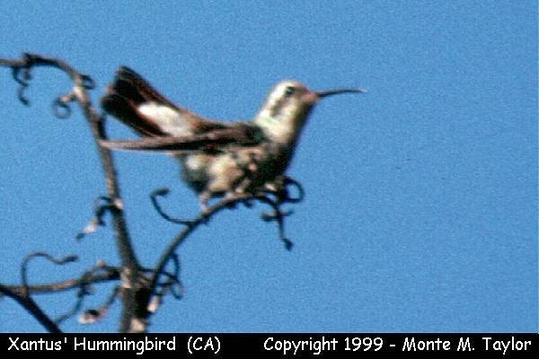 Xantus' Hummingbird  (Ventura, California - Feb, 1988)